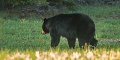 IMG_3675 Black Bear (Wallace River) Tags: blackbear