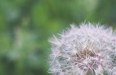Make a Wish (Gonza.M) Tags: flower nature bokeh dandelion wish