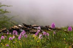 orchis itlica (hilarioperez) Tags: primavera flor rosa orqudea orchis ocaurel ocourel hilarioperez orchisitlica cerbedo castelodecerbedo