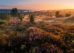 Glowing Heath (Maximilian Fellermann) Tags: mist sunrise health heath glowing sunrays heide lneburger