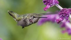 Anna's Hummingbird (Bob Gunderson) Tags: sanfrancisco california birds northerncalifornia fortmason hummingbirds annashummingbird calypteanna