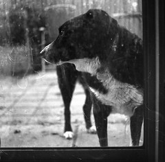 I Belong INSIDE (Shooting Ben) Tags: blackandwhite dog pet cold 6x6 film mediumformat outside collie natural inside bordercollie yashica begging longing wanting yashicamat kelpie caffenol lookingleft caffenolc