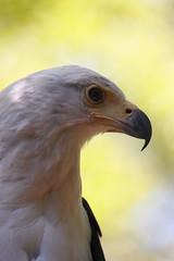 Profilo di un Rapace (DADAEOS) Tags: canon natura aquila rapace profilo oasisantalessio eos5dmarkii