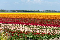 _DSC2763 (durr-architect) Tags: sky plant flower color colour field bulb landscape bright outdoor flowerbed tulip fields serene dronten flevoland oostelijk