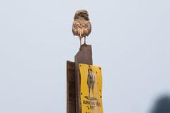 Burrowing Owl (Finatic 's iNaturalist Stream) Tags: burrowingowl