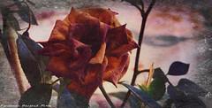 (ojoadicto) Tags: flor flower digitalmanipulation artisticphotography texture textura