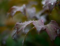 Leaf catching Waterdroplets. (padge83) Tags: brown macro green nikon waterdroplets westyorkshire d5300