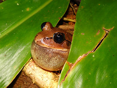 Great Barred Frog calling (Frogging Around) Tags: male call sunshinecoast maleny seq mixophyesfasciolatus greatbarredfrog