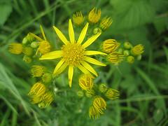 Unterwegs an der Limmat (Priska B.) Tags: wasser pflanzen wiese blumen zrich fluss limmat kanton dietikon