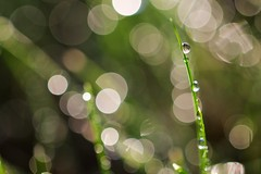 Day 178 of 366 - Morning Dew (antipodean.light) Tags: morning grass dew droplet glisten waterdroplet