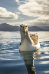 Buller's Albatross (www.PrinceImages.co.uk) Tags: bullers albatross newzealand mollymawk portrait seabird bird sea threatened beautiful eyes