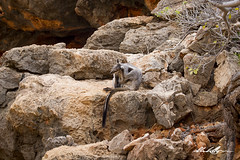 Black-flanked Rock-wallaby (_Red Dog_) Tags: wallaby roo kangaroo rock wildlife native australia western exmouth yardi creek gorge relaxed