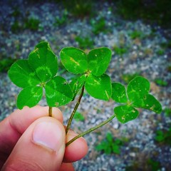 ...e se il buongiorno si vede dal mattino... #good #morning #goodmorning #buongiorno #quadrifoglio #fourleafclover #fourleafclovers #fortuna #luck #goodluck #buonafortuna #happy #felice (DanielOssino_EducatoreCinofilo) Tags: instagramapp square squareformat iphoneography uploaded:by=instagram clarendon good morning goodmorning buongiorno buon giorno quadrifoglio four leaf clover clovers fourleaf fourleafclover fourleafclovers fortuna luck buona buonafortuna goodluck happy felice grass prato erba field campo