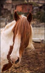 EL MELENAS. (TOYOGRACOR) Tags: canon caballo flickr dof fav50 windmills catalonia explore galaxy catalunya catalua pelo nwn godlovesyou fav100 melenas bej mywinners abigfave flickrdiamond platinumheartward mygearandme mygearandmepremium mygearandmebronze mygearandmesilver anpegon