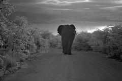 Walking Away (zenseas : )) Tags: morning wild vacation blackandwhite bw holiday elephant male ir early driving safari infrared etosha roadway loxodontaafricana selfdrive halali etoshanationalpark musth intheroad selfdrivesafari outsidemytruck