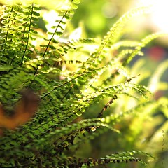 Fantasia (nathaliedunaigre) Tags: light plants macro green square bokeh lumire vert plantes proxy carr fougres