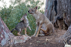 family life at sunset - golden jackals, wilder Goldschakal, Canis aureus syriacus @ Tel Aviv, Israel 2016, June urban nature (Jan Rillich) Tags: life park family sunset urban sun nature beautiful beauty animal june fauna digital canon photography eos evening abend living israel photo telaviv spring flora foto fotografie sonnenuntergang image jan wildlife familie young picture free 85mm sunny pack urbannature canon5d pup guest wilder offspring tier pflege yarkon ramatgan aureus welpe 2016 canis animalphotography syriacus hayarkon goldenjackal nahalhayarkon goldschakal 5dmarkiii janrillich rillich canisaureussyriacus