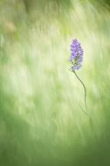Orchis tachet (YannW) Tags: flower nature fleur canon bokeh 300mm orchide 6d sauvage orchis mayenne tachet