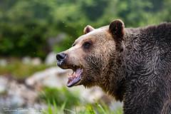 Rawr! (Stephanie Sinclair) Tags: bear canada britishcolumbia grousemountain grizzlybear june2016 stephaniesinclairphotography seattleempress