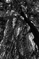 Buche in Hiltrup - 2016 - 0008_Web (berni.radke) Tags: tree giant baum beech mnster buche colossus riese hiltrup