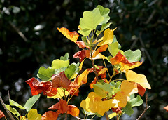 Yellow Poplar (Liriodendron tulipifera) (Mary Keim) Tags: taxonomy:binomial=liriodendrontulipifera centralflorida marykeim orlandowetlandspark