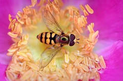 Hoverfly, Syrphus ribesii (Ersin Demir) Tags: hoverfly syrphusribesii gulsolblomfluga macro closeup flower insect blomflugor flowerfly pink yellow nikond5100 tamronsp90mmf28 colors syrphidfly