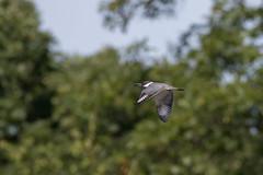 Belted Kingfisher (carlson322) Tags: nature birds canon wildlife nj kingfisher birdsinflight bif beltedkingfisher
