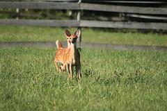 IMG_9208 (thinktank8326) Tags: nature wildlife deer spots fawn whitetaileddeer babyanimal