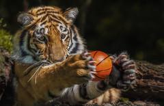 Ich fang den Ball (ellen-ow) Tags: ahimsa ball groskatzen katzenartige raubtiere spielzeug sugetiere tiger zoo tier tierkinder nikond7000 ellenow