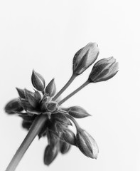 Windowbox Geranium Buds (lclower19) Tags: photochallenge bw black white geranium bud
