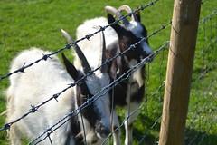 goats (TheStoreOfSolitude) Tags: flowers art grass animals illustration work photography student ebay colours drawing artsy illustrator etsy anima selling aesthetic