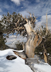 Hydra (Bregalis) Tags: ancient basin bristlecone explore great landscape longaeva national park pine pinus snake range divide spirituality tree trees nevada usa wild wilderness nature natural weathered wood trail wind ice snow elevation cffaa long now mt washington oldest living