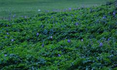 IMG_8544_ (olga.pinchuk) Tags: flowers calmness blumen schnheit