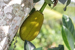IMG_1212 (Two people two cameras) Tags: indonesia bali asia travel photography photo nature fruit jackfruit green canon