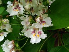 Catalpa bignonioides Walter 1788 (BIGNONIACEAE) (helicongus) Tags: spain catalpa bignoniaceae catalpabignonioides jardínbotánicodeiturraran