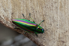 Chrysochroa fulgidissima (kenta_sawada6469) Tags: insect insects buprestidae beetles beetle coleoptera bug bugs jewelbeetle jewel wildlife wood nature colors macro japan