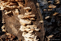 Die Pilzsaison ist erffnet (Sockenhummel) Tags: bume baumpilz pflanzenklle pilze mushroom funghi baumstamm fuji x30 fujifilm finepix fujix30 fungus