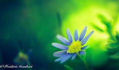 the light behind... (frederic.gombert) Tags: green light yellow flower flowers blue blur spring summer color colors plant sun sunlight macro macrodreams nikon d810