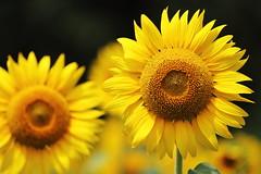 Summer (Teruhide Tomori) Tags: nature summer yosano kyoto japan flower sunflower       yellow green