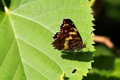 pkhlslepke / map (debreczeniemoke) Tags: nyr summer rt meadow rovar insect insecta lepke pillang butterfly pkhlslepke map cartegographique landkrtchen landkrtchenfalter araschnialevana tarkalepkeflk nymphalidae olympusem5