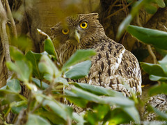0433 Fischuhu - Brown Fish-Owl (uwizisk) Tags: brownfishowl bubozeylonensis bubozeylonensisleschenaulti commonbrownfishowl fischuhu ketupazeylonensis india indien ketupazeylonensisleschenaulti ranthambhorenationalpark wellenbrustfischuhu