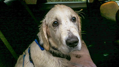 Wet Dog Charlie 19 weeks (Mark Rainbird) Tags: canon charlie dog powershots100 puppy retriever uk ufton