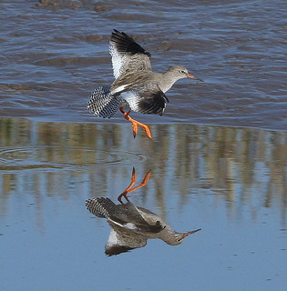 REDSHANK....Kidwelly