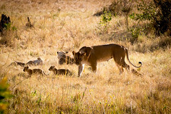 2016_09_06_Lowin_babys (a-thomas) Tags: lion serengeti masai marai kenya tanzania safari cat wildcat cubs africa afrika travel nature