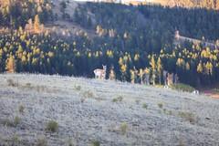IMG_0041 (GOD WEISFLOK) Tags: montana wyoming usa yellowstonepark gordweisflock weisflock