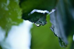 Lonely Drop (azyef94) Tags: drops tropfen macro macrophotography makro makrofotografie macrodreams waterdrops psx green