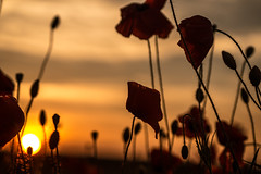 Dreams (wolfi8723) Tags: poppies dawn sunset sunshine outdoor outside field flower