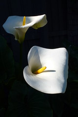 Arum Lily (dgardenia) Tags: rose roses flower macro nature garden spring ranunculus wisteria pottedplant lily lilies lilac tree lavender stock