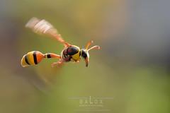 DSC_5091a (baloxp1) Tags: nature nest nesting nectar insect inflight monday flying motion freezing macroinflight wasp potterwasp yellow macro smallworld flight lighting komposition photo closeup