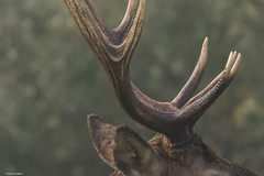 Pennslyvania Elk (Robert Strickland) Tags: benezette bugling bulls calf cows dominatebulls elk elkcounty harems pennslyvaniaelkherd rut rutting winslowhillroad animal antlers autumn buck bull bullelk cervus cervuscanadensis colorado country county deer elkherd elkphotography environment fall field herd horns male mammal mature meadow mountain nature naturephotography outdoor pa park pennsylvania pennsylvaniaelk pennsylvaniaelkherd photo photograph photography pictures rack stag strong trophy velvet wapiti wild wildlife wildlifephotography pennslyvania us